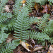 Polypodium × incognitum - Photo (c) Samuel Brinker, some rights reserved (CC BY-NC)
