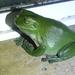 Ranoidea caerulea - Photo (c) Tony van Kampen, osa oikeuksista pidätetään (CC BY)