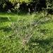 Myrceugenia myrtoides - Photo (c) alforrulo, osa oikeuksista pidätetään (CC BY-NC)