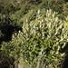 Kiggelaria africana - Photo (c) Tony Rebelo, algunos derechos reservados (CC BY-SA)