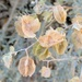 Atriplex canescens - Photo (c) Carol Blaney,  זכויות יוצרים חלקיות (CC BY-NC)
