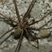 Eratigena duellica - Photo (c) Zach Hawn,  זכויות יוצרים חלקיות (CC BY-NC-SA)