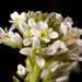 Field Peppergrass - Photo (c) C. E. Timothy Paine, some rights reserved (CC BY-NC)