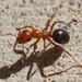 Formica perpilosa - Photo (c) Sam Hough, algunos derechos reservados (CC BY-NC)