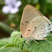 Mariposa Sedosa Aquamarina - Photo (c) Eduardo Axel Recillas Bautista, algunos derechos reservados (CC BY-NC)