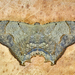 Trotorhombia metachromata - Photo (c) Eduardo Axel Recillas Bautista, algunos derechos reservados (CC BY-NC)