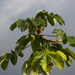 Trumpet Tree - Photo (c) Reinaldo Aguilar, some rights reserved (CC BY-NC-SA)