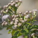 Chromolaena odorata - Photo (c) 葉子, osa oikeuksista pidätetään (CC BY-NC-ND)