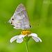 Strymon albata - Photo (c) Eduardo Axel Recillas Bautista,  זכויות יוצרים חלקיות (CC BY-NC)