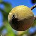 Genipa americana - Photo (c) Frutos Atrativos do Cerrado, μερικά δικαιώματα διατηρούνται (CC BY-NC-SA)