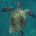 צבים ימיים - Photo (c) nsjmetzger,  זכויות יוצרים חלקיות (CC BY-NC-ND)