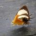 Helicopis gnidus - Photo (c) Warren Dunlop, algunos derechos reservados (CC BY-NC)