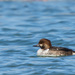 Common Goldeneye × Hooded Merganser - Photo (c) brian stahls, some rights reserved (CC BY-NC)