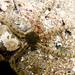 Ophionereis annulata - Photo (c) Ken-ichi Ueda,  זכויות יוצרים חלקיות (CC BY)