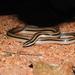 Conophis vittatus - Photo (c) Diana Fuentes,  זכויות יוצרים חלקיות (CC BY-SA)