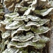 Mossy Maze Polypore - Photo (c) Gabe T, some rights reserved (CC BY-NC-ND)