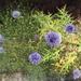 Echinops bovei - Photo (c) dries-fatsah,  זכויות יוצרים חלקיות (CC BY-NC)