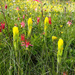 Golden Indian Paintbrush - Photo (c) USFWS Endangered Species, some rights reserved (CC BY)