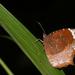 Elymnias caudata - Photo (c) Jeevan Jose, Kerala, India, osa oikeuksista pidätetään (CC BY-SA)