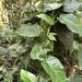 Marsdenia formosana - Photo (c) jodyhsieh,  זכויות יוצרים חלקיות (CC BY-NC)
