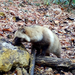 Hondo Raccoon Dog - Photo (c) Timur Kalininsky, some rights reserved (CC BY-NC)
