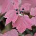 Viburnum acerifolium - Photo (c) Marv Elliott,  זכויות יוצרים חלקיות (CC BY-NC)