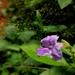 Asystasia dalzelliana - Photo (c) swanand kesari, alguns direitos reservados (CC BY-NC)
