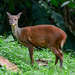 Central American Red Brocket - Photo (c) pfaucher, some rights reserved (CC BY-NC)