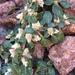 Alternanthera caracasana - Photo (c) Nathan Taylor, μερικά δικαιώματα διατηρούνται (CC BY-NC)
