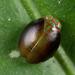Issidae - Photo (c) Nikolai Vladimirov, some rights reserved (CC BY-NC)
