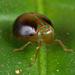 Hemisphaerius rufovarius - Photo (c) Nikolai Vladimirov, algunos derechos reservados (CC BY-NC)