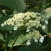 Hydrangea radiata - Photo (c) Hectonichus, algunos derechos reservados (CC BY-SA)