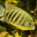 Pearlspot Cichlids - Photo (c) Peter Corbett, some rights reserved (CC BY)