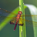 Hydrobasileus croceus - Photo (c) Vijay Anand Ismavel,  זכויות יוצרים חלקיות (CC BY-NC-SA), uploaded by Dr. Vijay Anand Ismavel MS MCh