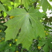 Acer macrophyllum - Photo (c) josh jackson, algunos derechos reservados (CC BY)