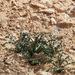 Drimia palaestina - Photo (c) Ron Frumkin, algunos derechos reservados (CC BY-NC)