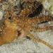Callistoctopus macropus - Photo (c) Jean-Paul Cassez, osa oikeuksista pidätetään (CC BY-NC)