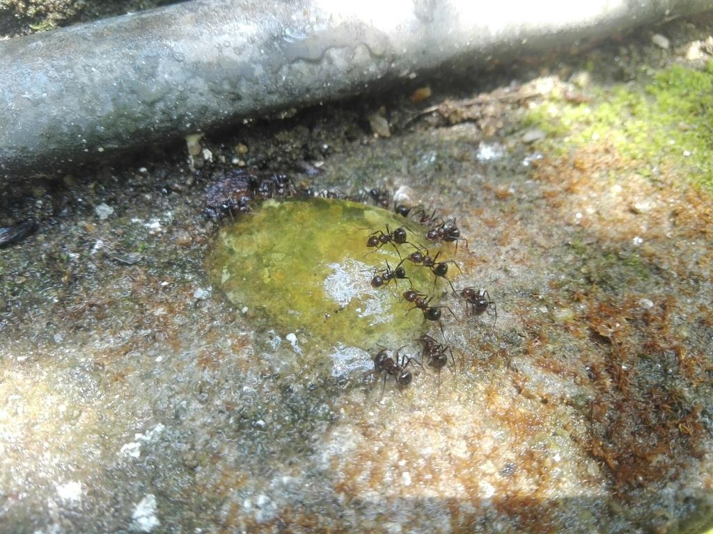 A swarm of Myrmicaria brunnea feeding on Mango Jelly bait in Trincomalee, Sri Lanka