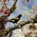 Cacicus chrysonotus - Photo (c) thibaudaronson,  זכויות יוצרים חלקיות (CC BY-SA)