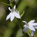 Lobelia spicata - Photo (c) Frank Mayfield, algunos derechos reservados (CC BY-SA)
