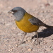 Gray-hooded Sierra-Finch - Photo (c) Jan Ebr, some rights reserved (CC BY)
