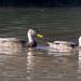 Pato Mexicano - Photo (c) Gordon Karre, algunos derechos reservados (CC BY-NC)