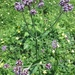 Verbena bonariensis bonariensis - Photo (c) Annika T,  זכויות יוצרים חלקיות (CC BY-NC)