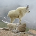 Mountain Goat - Photo (c) Tom Benson, some rights reserved (CC BY-NC-ND)