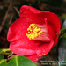 Japanese Camellia - Photo (c) Observações Naturalistas, some rights reserved (CC BY-NC)