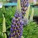 Lupinus × regalis - Photo (c) FarOutFlora, algunos derechos reservados (CC BY)