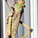 Phymateus leprosus - Photo (c) Colin Ralston, osa oikeuksista pidätetään (CC BY-NC)
