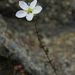 Knotted Pearlwort - Photo (c) Kari Pihlaviita, some rights reserved (CC BY-NC)