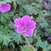 Geranium viscosissimum - Photo (c) beautifulcataya, algunos derechos reservados (CC BY-NC-ND)