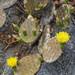 Nopal de Culebra - Photo (c) Beto Valladares, algunos derechos reservados (CC BY-NC)
